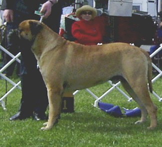 Aust. CH Bullvalour Jack's Pryde - Owned by N & S Lofthouse